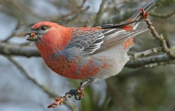 Щур-птица-Описание-особенности-виды-образ-жизни-и-среда-обитания-птицы-щур-3