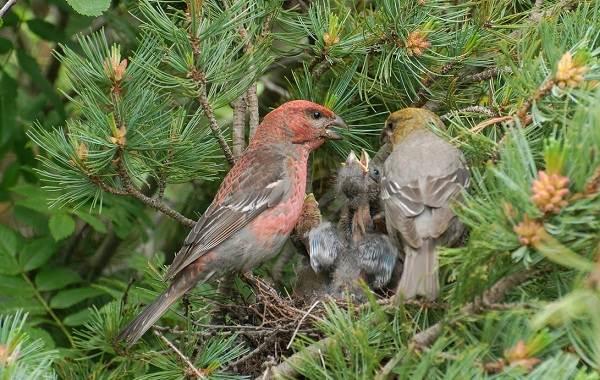 Щур-птица-Описание-особенности-виды-образ-жизни-и-среда-обитания-птицы-щур-4