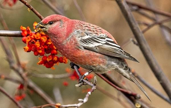 Щур-птица-Описание-особенности-виды-образ-жизни-и-среда-обитания-птицы-щур-5