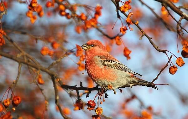 Щур-птица-Описание-особенности-виды-образ-жизни-и-среда-обитания-птицы-щур-6