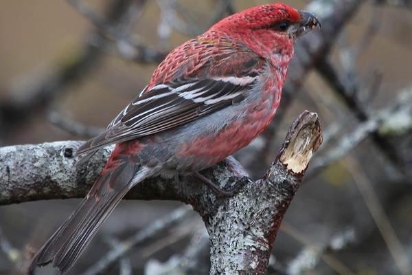 Щур-птица-Описание-особенности-виды-образ-жизни-и-среда-обитания-птицы-щур-7