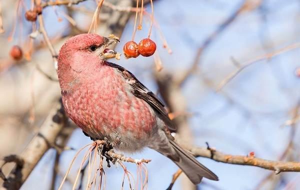 Щур-птица-Описание-особенности-виды-образ-жизни-и-среда-обитания-птицы-щур-8