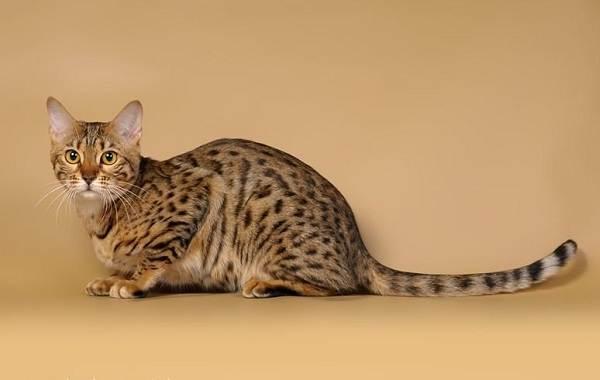 Серенгети-кошка-Описание-особенности-виды-уход-и-цена-породы-серенгети-1