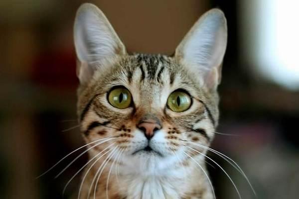 Серенгети-кошка-Описание-особенности-виды-уход-и-цена-породы-серенгети-2