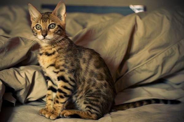 Серенгети-кошка-Описание-особенности-виды-уход-и-цена-породы-серенгети-3