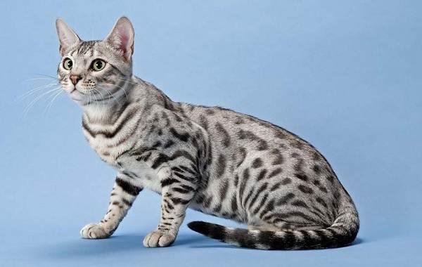Серенгети-кошка-Описание-особенности-виды-уход-и-цена-породы-серенгети-4