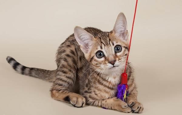 Серенгети-кошка-Описание-особенности-виды-уход-и-цена-породы-серенгети-5
