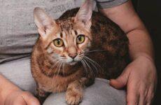 Серенгети кошка. Описание, особенности, виды, уход и цена породы серенгети