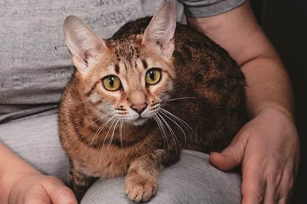 Серенгети-кошка-Описание-особенности-виды-уход-и-цена-породы-серенгети-6