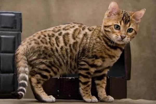 Серенгети-кошка-Описание-особенности-виды-уход-и-цена-породы-серенгети-7