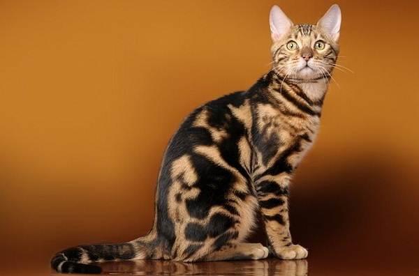 Серенгети-кошка-Описание-особенности-виды-уход-и-цена-породы-серенгети-8