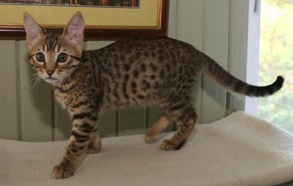 Серенгети-кошка-Описание-особенности-виды-уход-и-цена-породы-серенгети-9