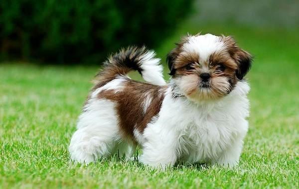 Ши-тцу-собака-Описание-особенности-виды-характер-уход-и-цена-породы-ши-тцу-1