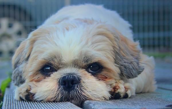 Ши-тцу-собака-Описание-особенности-виды-характер-уход-и-цена-породы-ши-тцу-10