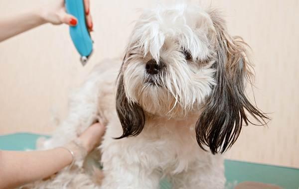 Ши-тцу-собака-Описание-особенности-виды-характер-уход-и-цена-породы-ши-тцу-12