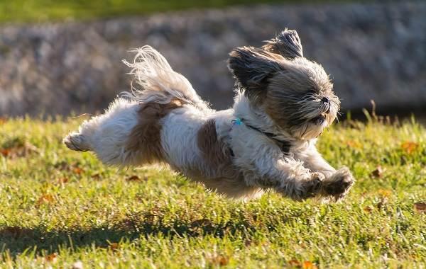 Ши-тцу-собака-Описание-особенности-виды-характер-уход-и-цена-породы-ши-тцу-13