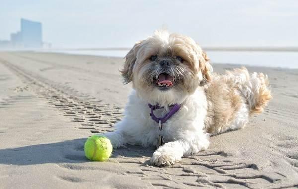 Ши-тцу-собака-Описание-особенности-виды-характер-уход-и-цена-породы-ши-тцу-14