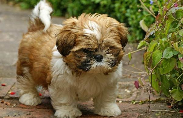 Ши-тцу-собака-Описание-особенности-виды-характер-уход-и-цена-породы-ши-тцу-2