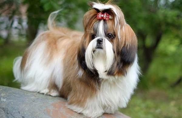 Ши-тцу-собака-Описание-особенности-виды-характер-уход-и-цена-породы-ши-тцу-4