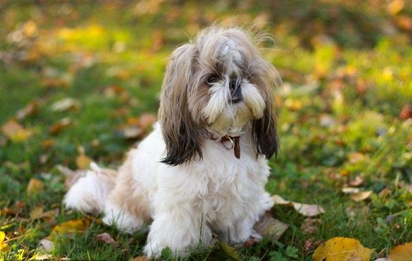 Ши-тцу-собака-Описание-особенности-виды-характер-уход-и-цена-породы-ши-тцу-5