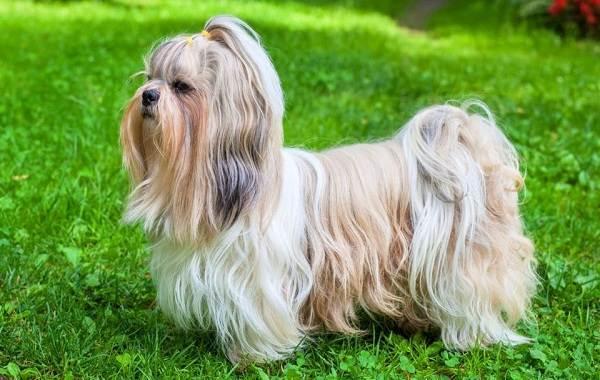 Ши-тцу-собака-Описание-особенности-виды-характер-уход-и-цена-породы-ши-тцу-6