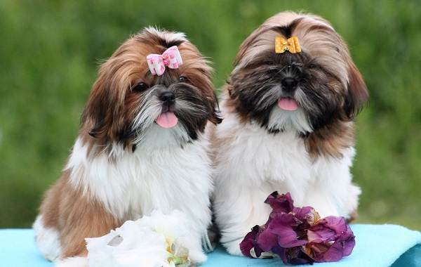 Ши-тцу-собака-Описание-особенности-виды-характер-уход-и-цена-породы-ши-тцу-7
