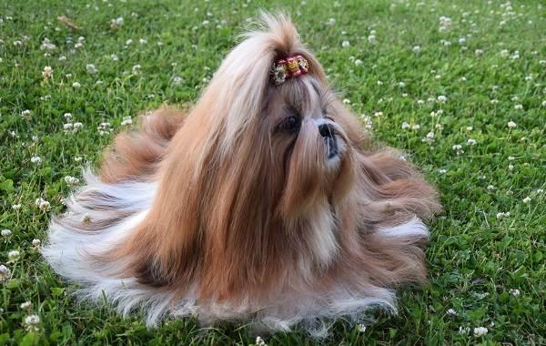 Ши-тцу-собака-Описание-особенности-виды-характер-уход-и-цена-породы-ши-тцу-8