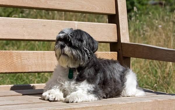 Ши-тцу-собака-Описание-особенности-виды-характер-уход-и-цена-породы-ши-тцу-9