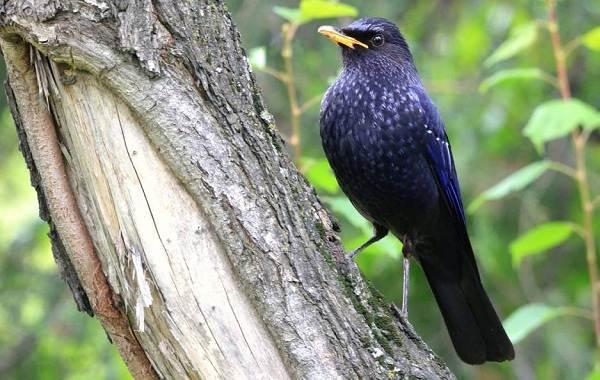 Синяя-птица-Описание-особенности-виды-образ-жизни-и-среда-обитания-синей-птицы-11