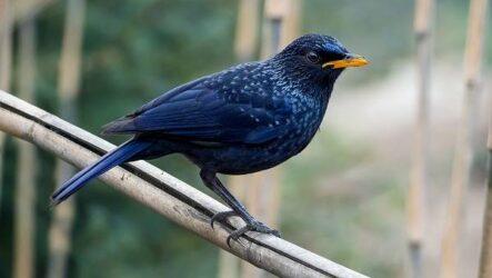 Синяя птица. Описание, особенности, виды, образ жизни и среда обитания синей птицы