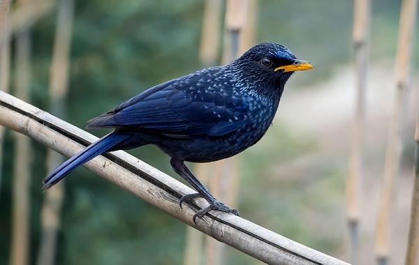 Синяя-птица-Описание-особенности-виды-образ-жизни-и-среда-обитания-синей-птицы-2