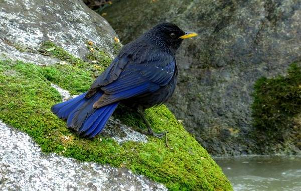 Синяя-птица-Описание-особенности-виды-образ-жизни-и-среда-обитания-синей-птицы-3