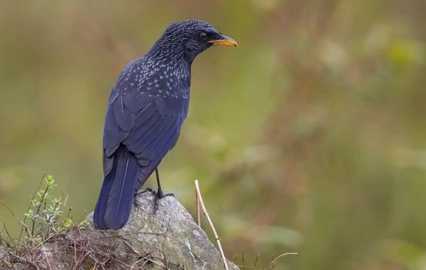 Синяя-птица-Описание-особенности-виды-образ-жизни-и-среда-обитания-синей-птицы-4