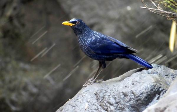 Синяя-птица-Описание-особенности-виды-образ-жизни-и-среда-обитания-синей-птицы-6