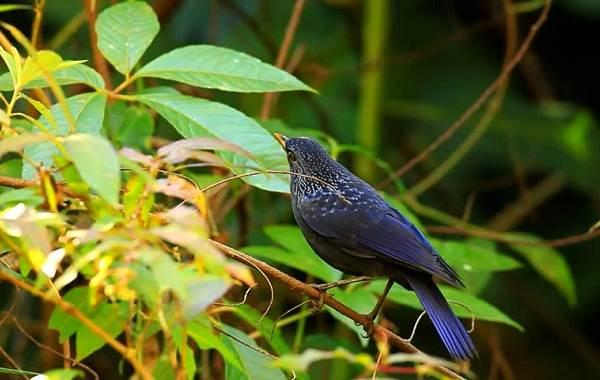 Синяя-птица-Описание-особенности-виды-образ-жизни-и-среда-обитания-синей-птицы-7