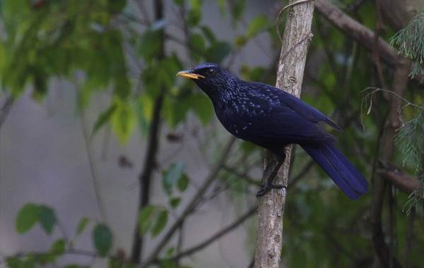 Синяя-птица-Описание-особенности-виды-образ-жизни-и-среда-обитания-синей-птицы-8