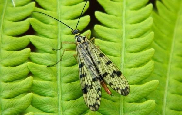 Скорпионница-муха-насекомое-Описание-особенности-образ-жизни-и-среда-обитания-скорпионницы-10