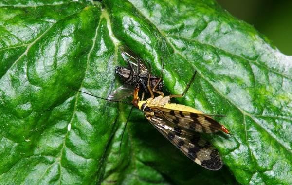 Скорпионница-муха-насекомое-Описание-особенности-образ-жизни-и-среда-обитания-скорпионницы-11