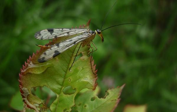 Скорпионница-муха-насекомое-Описание-особенности-образ-жизни-и-среда-обитания-скорпионницы-12