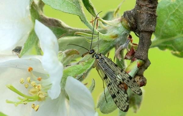 Скорпионница-муха-насекомое-Описание-особенности-образ-жизни-и-среда-обитания-скорпионницы-13
