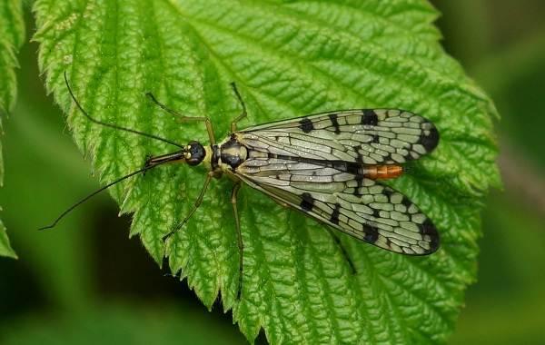 Скорпионница-муха-насекомое-Описание-особенности-образ-жизни-и-среда-обитания-скорпионницы-2
