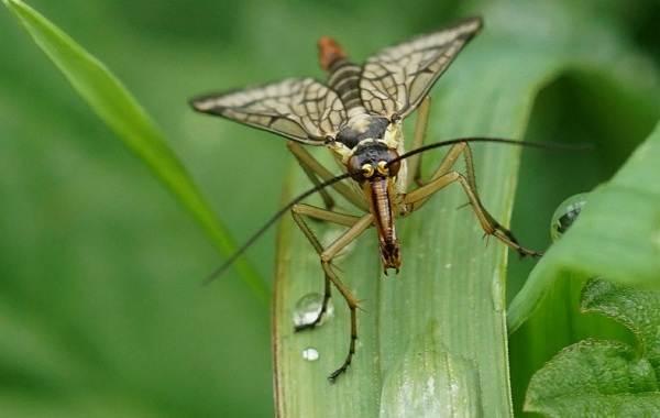 Скорпионница-муха-насекомое-Описание-особенности-образ-жизни-и-среда-обитания-скорпионницы-3