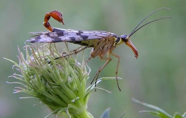 Скорпионница-муха-насекомое-Описание-особенности-образ-жизни-и-среда-обитания-скорпионницы-4