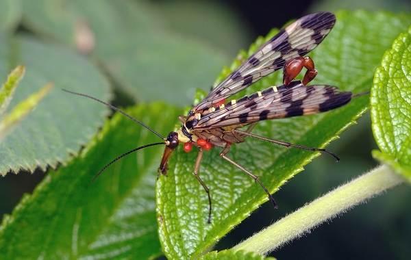 Скорпионница-муха-насекомое-Описание-особенности-образ-жизни-и-среда-обитания-скорпионницы-5