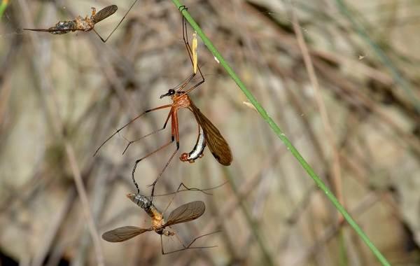Скорпионница-муха-насекомое-Описание-особенности-образ-жизни-и-среда-обитания-скорпионницы-6