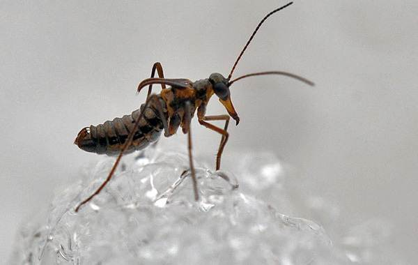 Скорпионница-муха-насекомое-Описание-особенности-образ-жизни-и-среда-обитания-скорпионницы-7
