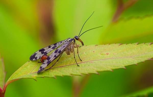 Скорпионница-муха-насекомое-Описание-особенности-образ-жизни-и-среда-обитания-скорпионницы-8