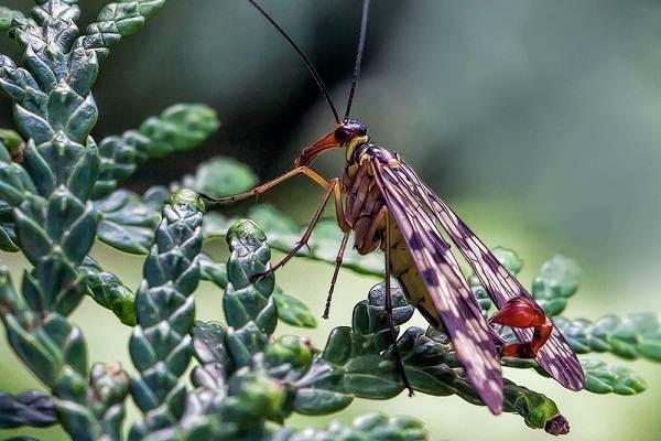 Скорпионница-муха-насекомое-Описание-особенности-образ-жизни-и-среда-обитания-скорпионницы-9