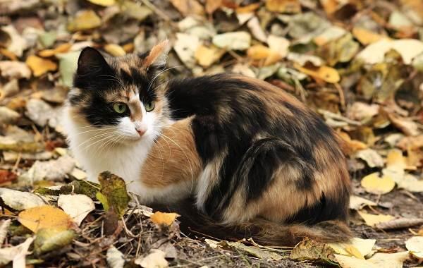 Трехцветная-кошка-Описание-особенности-приметы-и-породы-трёхцветных-кошек-1