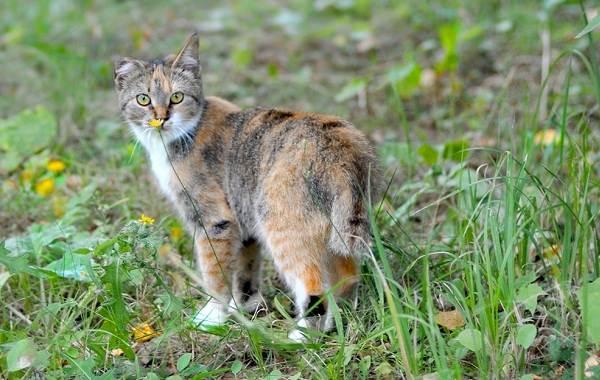 Трехцветная-кошка-Описание-особенности-приметы-и-породы-трёхцветных-кошек-11